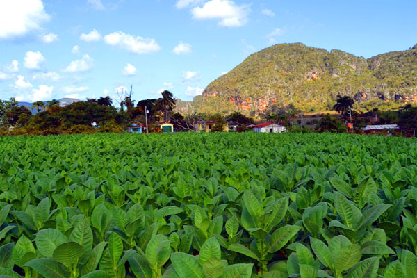 табачное поле в долине Виньялес